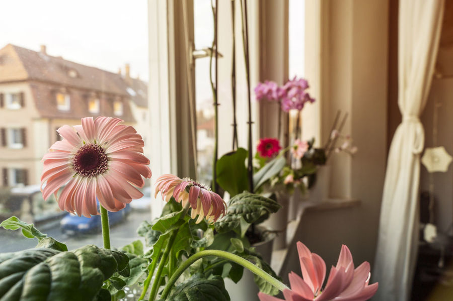 Architecture Beauty In Nature Blooming Building Exterior Built Structure Close-up Day Flower Flower Head Flowers Focus On Foreground Fragility Freshness Germany Growth Indoors  Nature Pink Color Plant Potted Plant Summer Summertime Sun Sunny Window