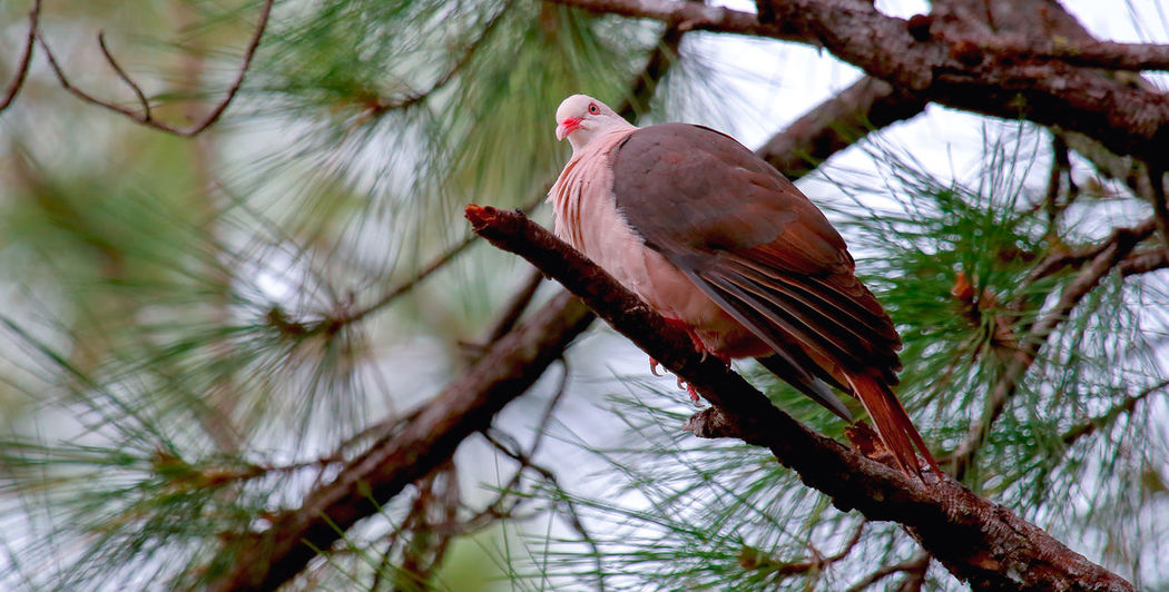 Pink Pigeon Animal Themes Animal Wildlife Animals In The Wild Beauty In Nature Bird Branch Close-up Day Focus On Foreground Low Angle View Nature No People One Animal Outdoors Parrot Perching Red Tree