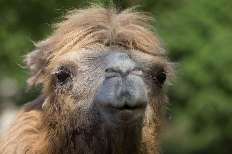 Close-up of bactrian camel on field