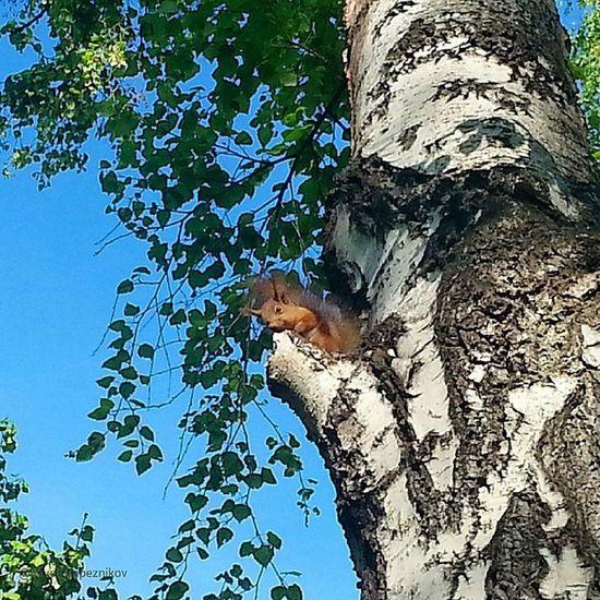20140608 , Новосибирск . Новосибирский зоопарк . Дикая, но симпатичная белка !/ Novosibirsk. Novosibirsk Zoo. Wild, but cute squirrel!