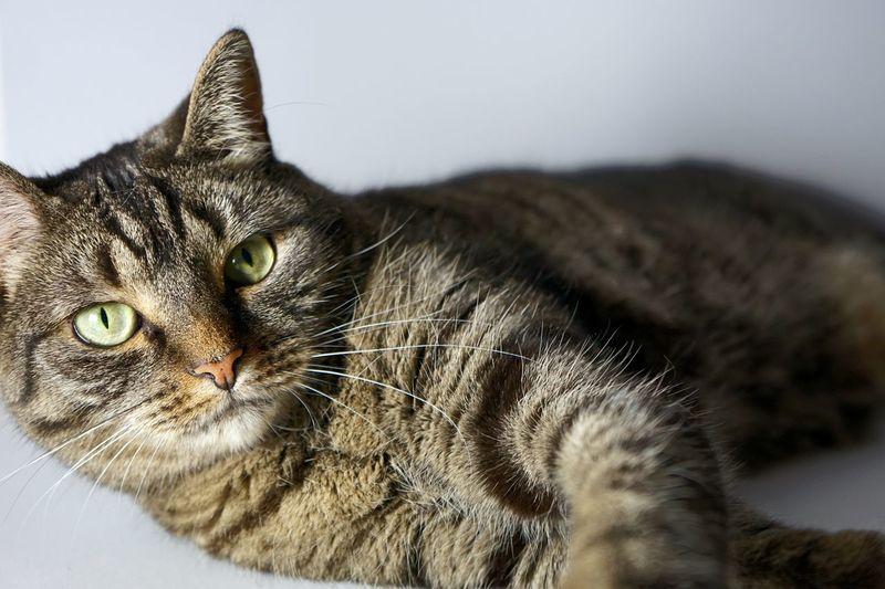 Cat Pet Pet