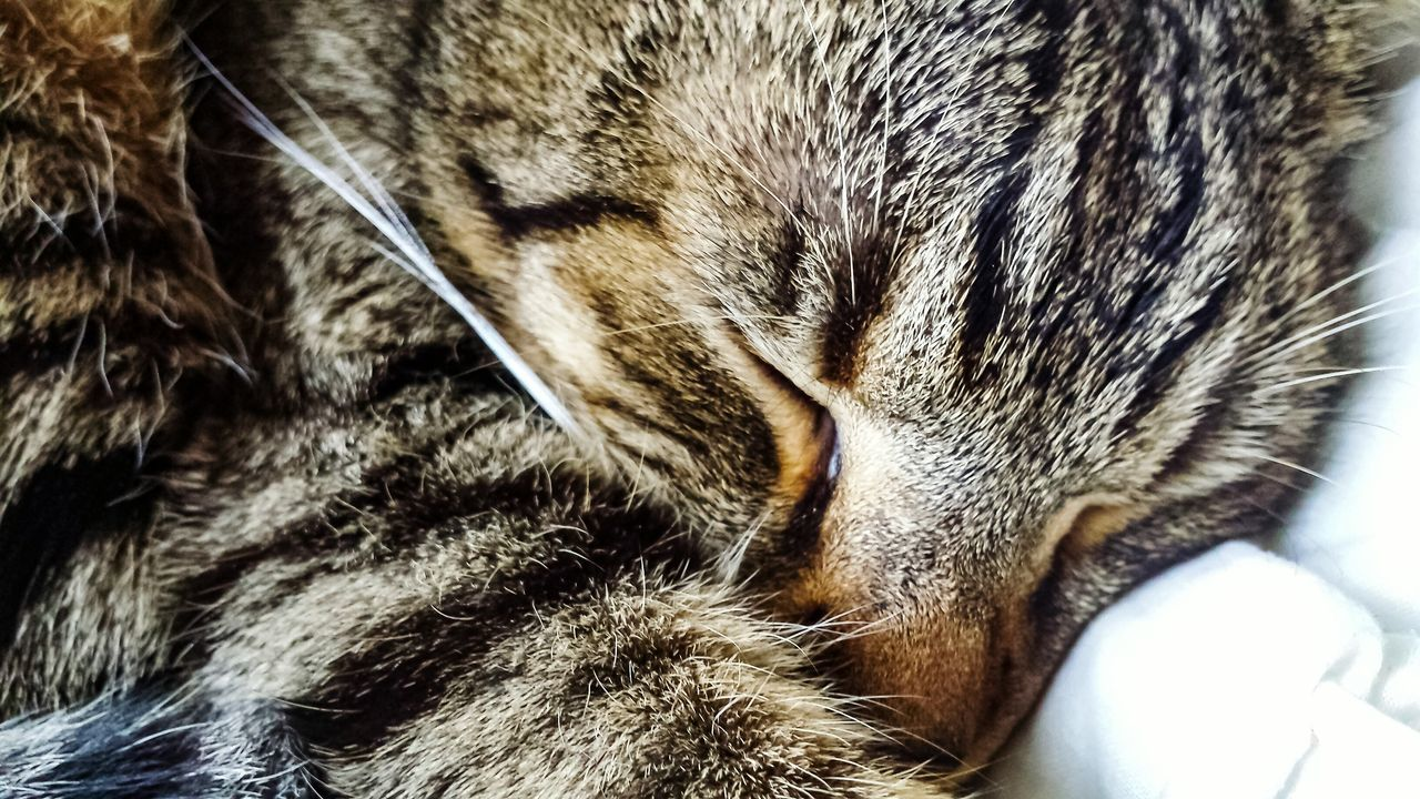 one animal, pets, animal themes, domestic animals, domestic cat, close-up, animal body part, sleeping, indoors, mammal, eyes closed, no people, feline, day
