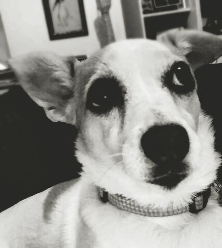 She's listening. Dog Dogs Of EyeEm Dogs Blackandwhite Black And White Photography Blackandwhitephotography Eyes Dog Eyes Dog Eye4photography Dog Photography Dog Photos Official EyeEm © Dog Portrait Dog Photo Dogsofinstagram Dogs_of_instagram Jackrussellterrier Jack Russell Jack Russell Terrier