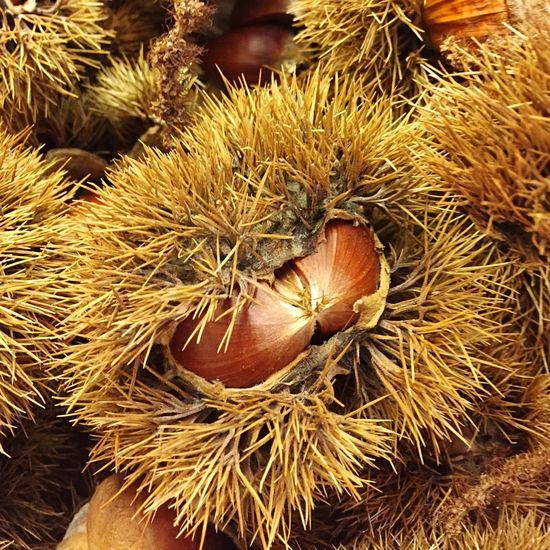Chestnut IPSFall