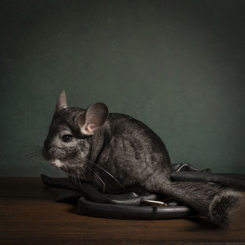 A cute chinchilla in a still life setting with bike assessories on a table