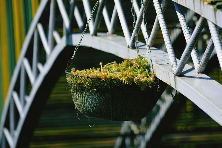 Close-up of hanging plant against railing