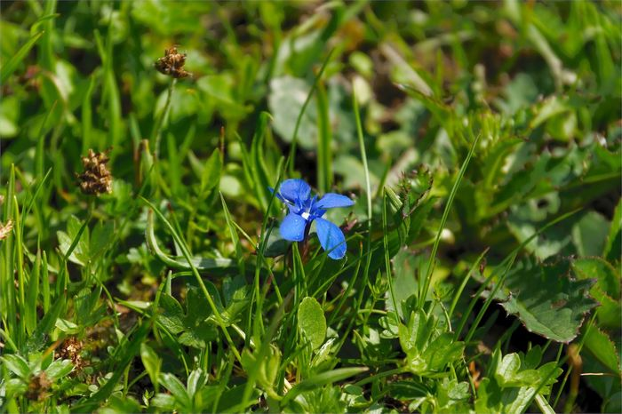 Beauty In Nature Blooming Blue Close-up Day Field Flower Flower Head Fragility Freshness Grass Green Color Growth Nature No People Outdoors Plant