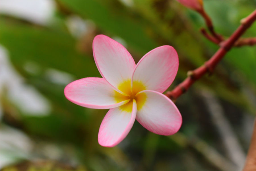 Beauty In Nature Blooming Close-up Day Flower Flower Head Focus On Foreground Fragility Frangipani Freshness Growth Nature No People Outdoors Periwinkle Petal Pink Color Plant