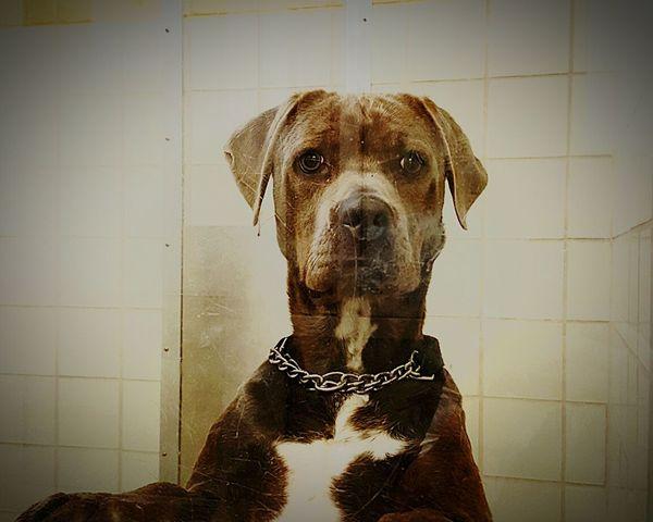 Animalshelter Animal Shelter my name is Bailey Montgomery County Animal Shelter Animal Rescue Dog❤ Dogs Dog Shelter Dogs Of EyeEm Cane Corso Canecorso  Dogslife Doglover
