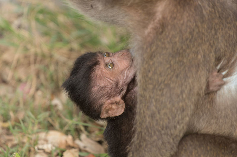 Close-up of long-tailed macaque with infant at zoo