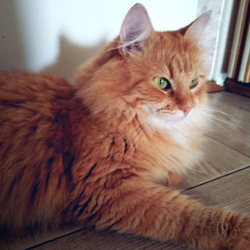 Ginger cat.
