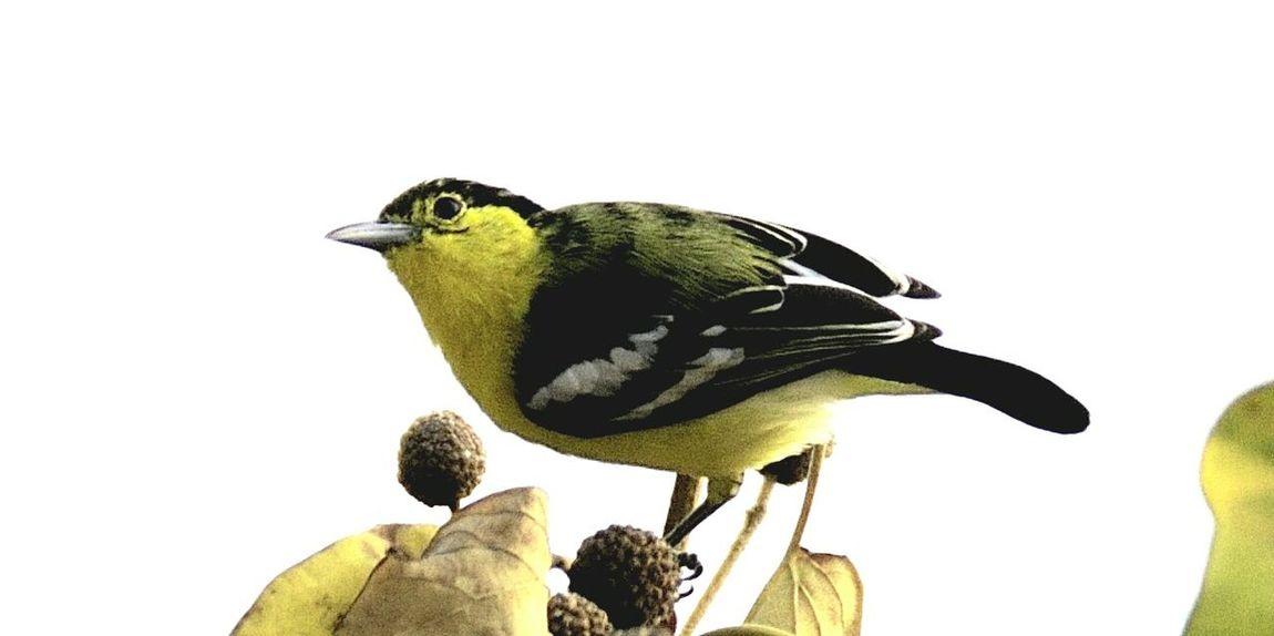 Iora Bird Perching Nature Yellow Color India Birds🐦⛅ Nature Bhilai