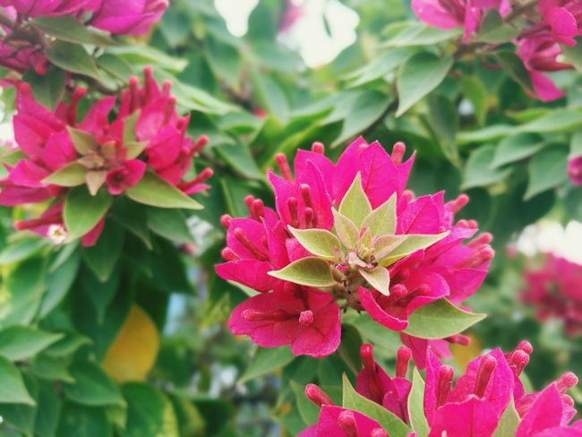 Fucsia Fucsia Flowers Green Color Plants And Flowers