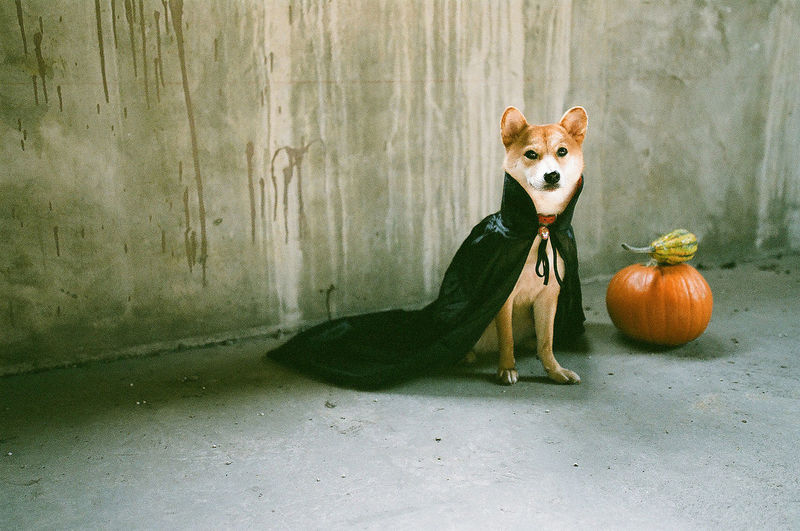 Portrait of shiba inu by pumpkin against wall during halloween