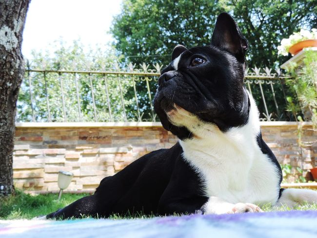 One Animal Day Tree Outdoors Animal Themes One Person Domestic Animals Pets Mammal People Adults Only Sky Nature Adult Dogs Bulldogfrances Frenchbulldog Frenchies Black Colour Nikon P900 Nikonphotography Animal Doméstico Domestic Dog Pet Portraits