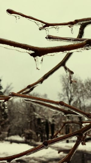 Ice Storm Tree Encased In Ice Perspective Blurred Foreground Perspective Yardley Pennsylvania TreePorn