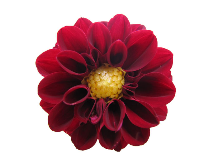 Close-up of red flower over white background