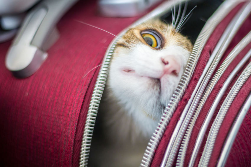 Cat inside a Trolley Animal Head  Animal Themes Cat Close-up Curiosity Cute Domestic Animals Domestic Cat Feline Home Indoors  Mammal Pets Traveling With A Cat Traveling With Pets Trolley Whisker Surprise Closeup On The Way Eyeemphoto Adapted To The City Pet Portraits