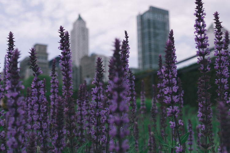 Beautiful flowers in Chicago's Millenium Park, skyline in the distance. Beauty In Nature Chicago Chigasaki Childhood Day Flower Freshness Growth Lavender Nature No People Outdoors Plant Purple