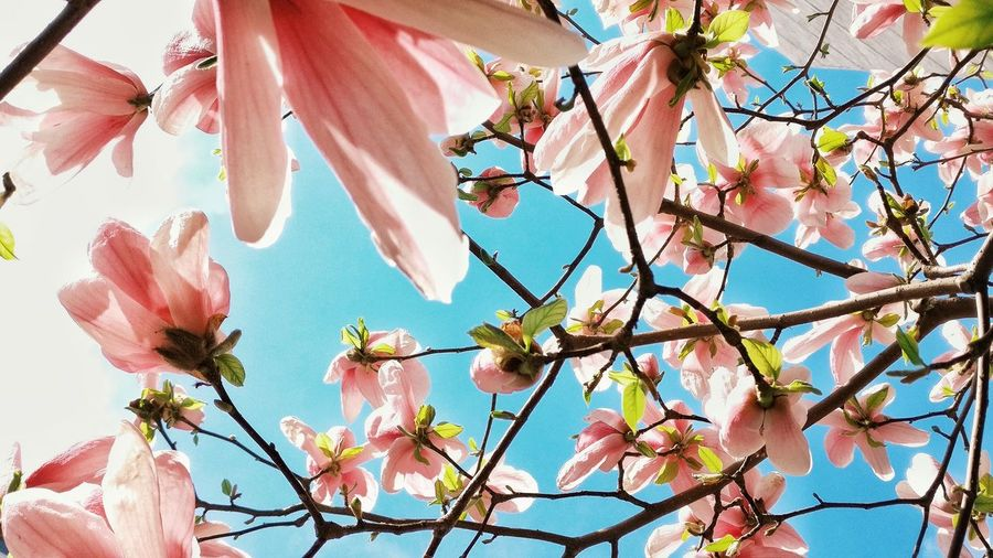 Low Angle View Fragility Nature Beauty In Nature Sky Pink Color Flower No People Tree Day Branch Outdoors Growth Close-up Freshness 一加手机 玉兰花开
