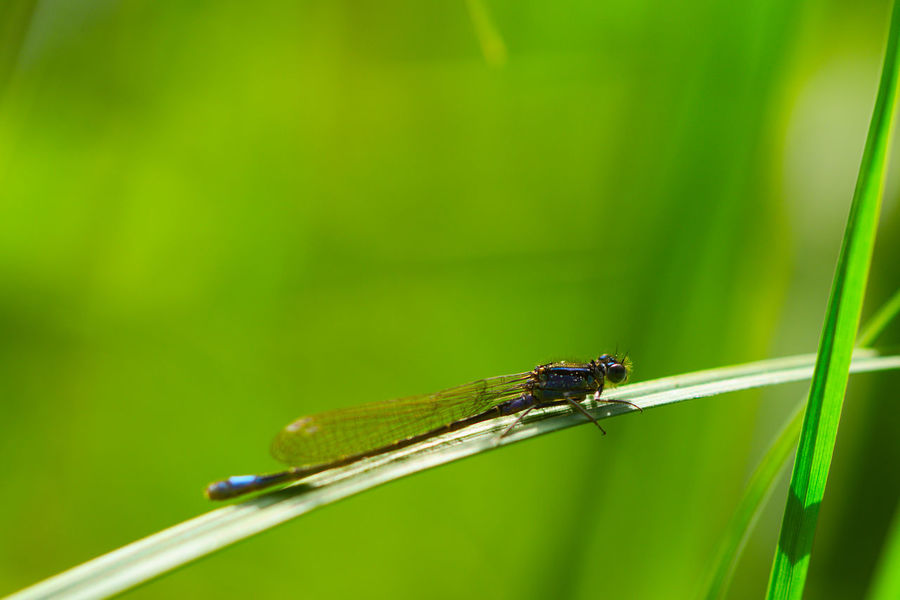 Animal Wildlife Close-up Damselfly Grass Green Color Insect Ischnura Elegans Macro Macro Photography Nature One Animal Outdoors