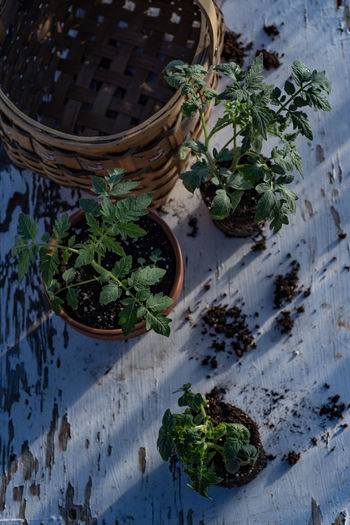 Table top view of gardening or potting bench with young tomato plants, clay pot, garden basket