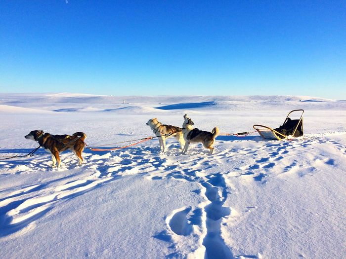 Siberian Huskies On Snowy Field Against Clear Blue Sky