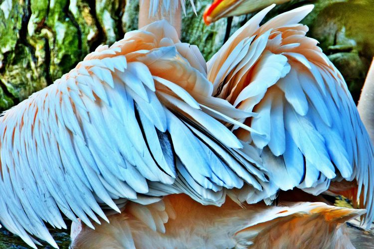 Animal Animal Themes Animal Wildlife Bird Animals In The Wild One Animal Close-up No People Focus On Foreground Feather  White Color Animal Body Part Outdoors Natural Pattern Nature Feathers Plumage Pelican Bird Wings