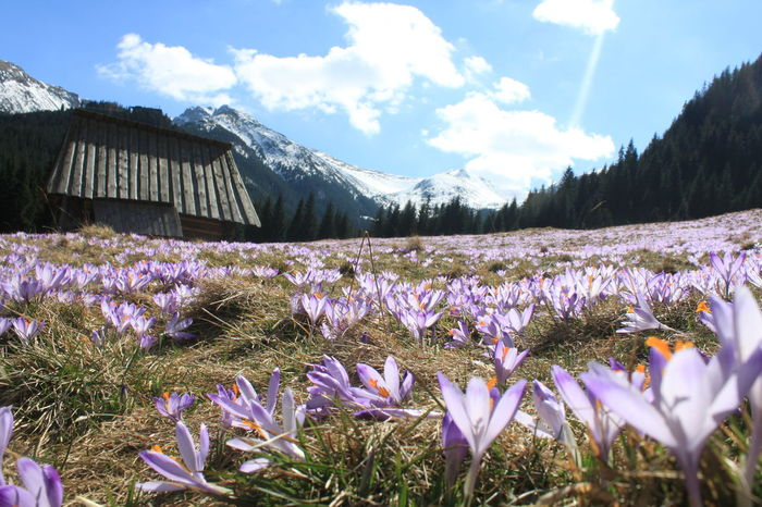 Beauty In Nature Building Exterior Cloud - Sky Day Field Flower Fragility Freshness Growth Landscape Mountain Mountain Range Nature No People Outdoors Plant Purple Scenics Sky Snow Tatra Mountains Tatry Poland Tranquil Scene Tranquility