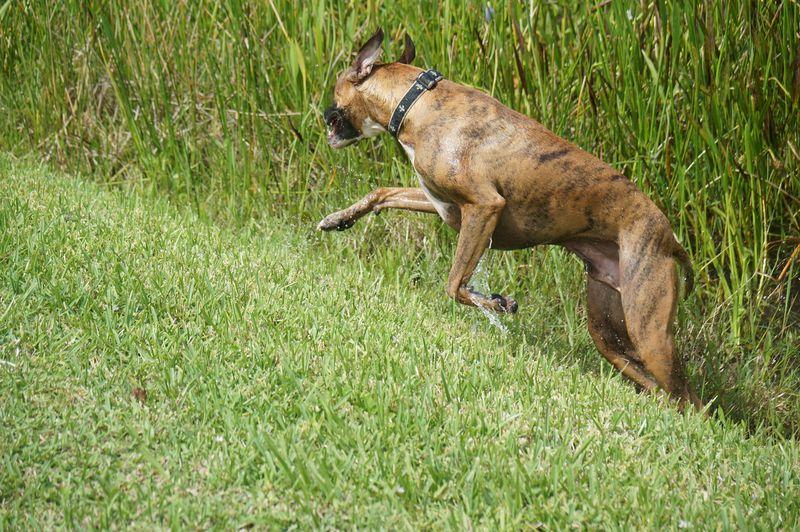 Boxer dog running on grassy field at park
