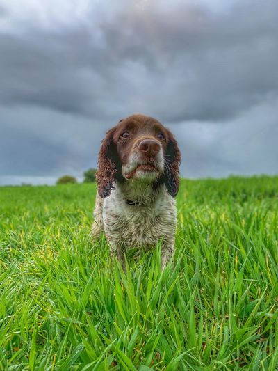 Springer in the grass Dog Walking Working Dog Breed Springer Spaniel One Animal Grass Plant Animal Animal Themes Field Dog