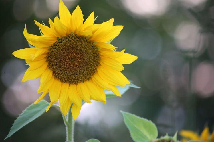sunflower bokeh