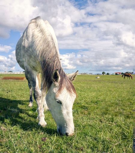 Horse Ponyclub Animals Mammal AucklandGrass Beauty In Nature Livestock Cloud - Sky Day Outdoors One Animal Animal Wildlife Nature Sky Animals In The Wild No People