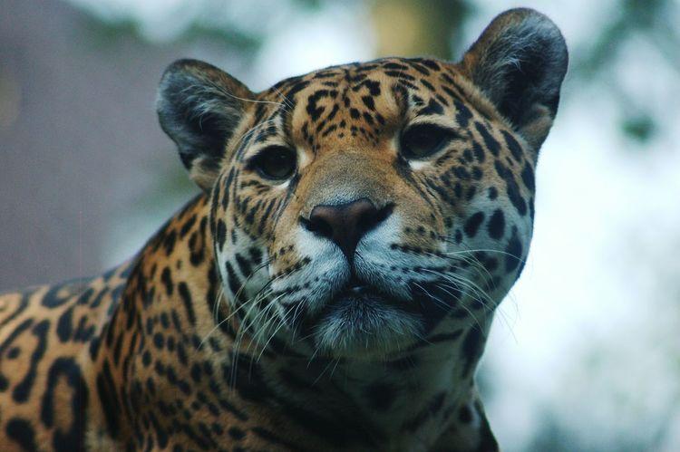 Leopard Wildlife Wildcat Bigcats Bigcatphotography Animal Photography Closeup Majestic Pride