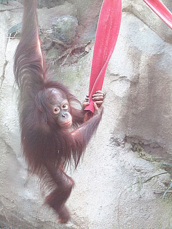 3 Years Old Monkey Orangutan Rostock 2017 Suria In Toberlaune
