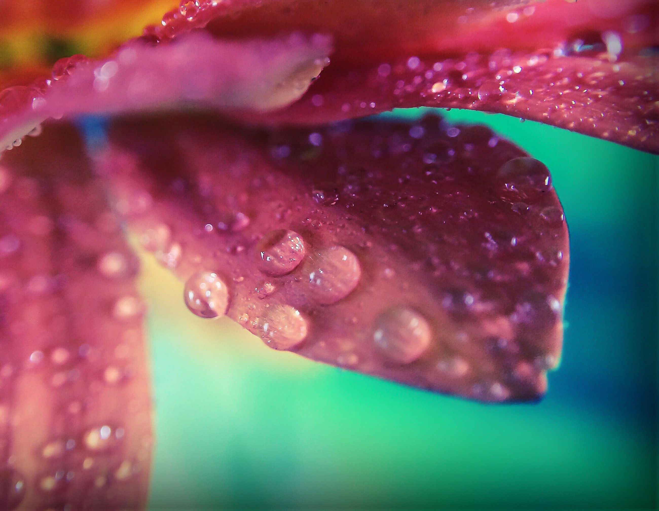 freshness, drop, water, close-up, wet, fragility, flower, petal, dew, beauty in nature, red, flower head, selective focus, nature, single flower, droplet, growth, purity, water drop, macro