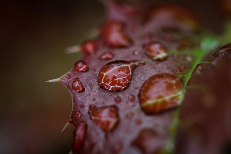 Beauty in Nature Close-up Plant Part Leaf No People Beauty In Nature Plant Selective Focus Nature Drop Water Red Growth Fragility Vulnerability  Wet Day Outdoors Focus On Foreground RainDrop
