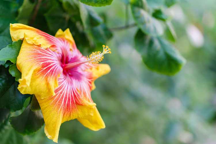 Flowering Plant Plant Beauty In Nature Freshness Petal Flower Close-up Fragility Vulnerability  Growth Flower Head Inflorescence Focus On Foreground Nature No People Day Pollen Hibiscus Outdoors Pollination