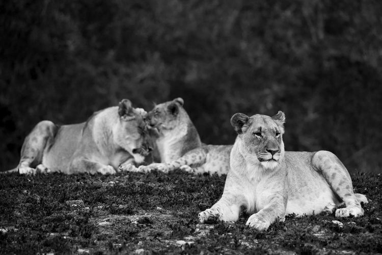 Lions at play Family Love  Lion Love Siblings South Africa Wildlife & Nature Wildlife Photography Africa African Safari Animal Wildlife Animals In The Wild Black And White Fun And Games Lioness Mammal No People Wildlife