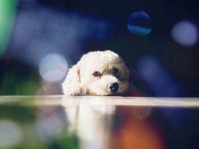 Lazy Pup Lazy Dog Lazy Day Lazy Low Angle View White Puppy Eyes Puppy Face Puppy❤ Puppies Puppy Love Puppy Doglover Dogslife Dogs Of EyeEm Dog Love Dogs Pup Dog Pets Mammal Domestic Animals One Animal Animal Themes Puppy Portrait Looking At Camera No People Indoors  Day Close-up