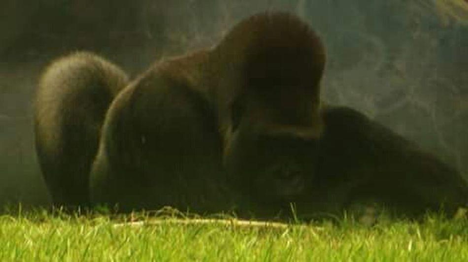 Monkeybusiness  Primates Apes Jacksonville Zoo Gorilla Lifestyle
