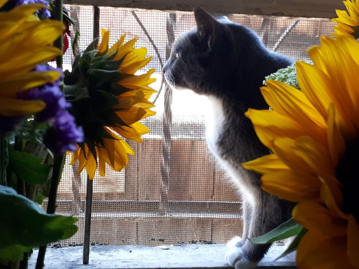 por la ventana Cat Flower Pets Flower Head Yellow Animal Themes Sunflower Blooming Petal