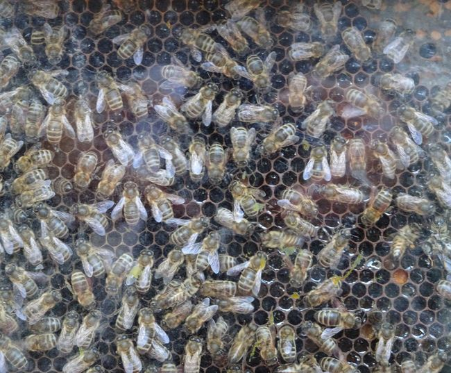 Animal Themes Animals Bees Hexagonal Hive Of Bees Hiver Nature No People Outdoors Queen Queen Bee Wild Wing