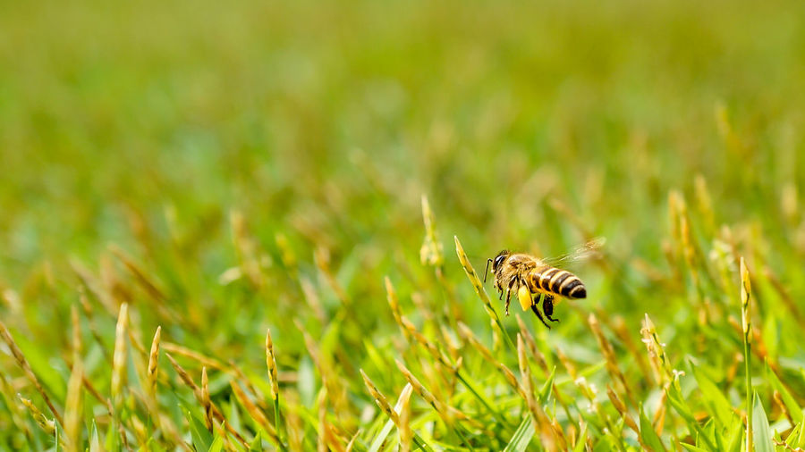 A honey bee flying through the grass Animal Themes Animal Wildlife Animals In The Wild Beauty In Nature Bee Close-up Day Grass Green Color Growth Insect Nature No People One Animal Outdoors Plant