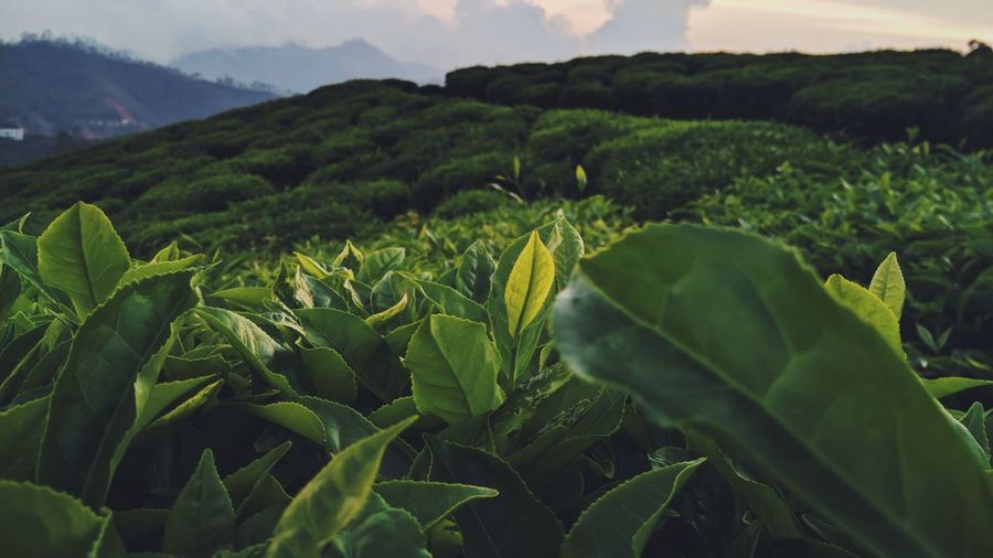 Leaf reflects its peak TeaLeafEstate Sunlight On Leaves #Nature  #sunsetlight#greentrees Dim Light EyeEm Nature Lover Social Issues Field Hill Crop  Tree Vegetable Plantation Tea Leaves