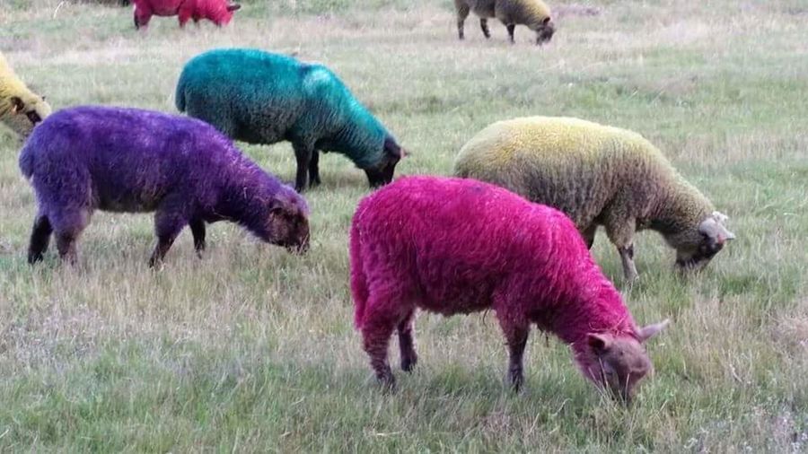 Grass Animal Themes Field Sheep🐑 Multi Colored Pink