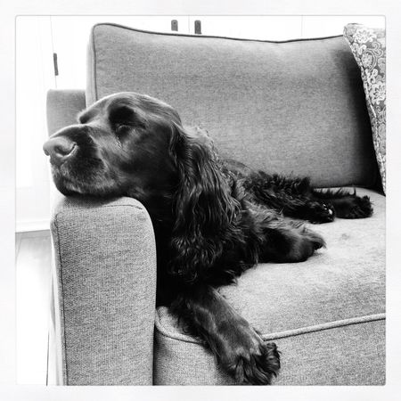 IPhoneography Black & White Black And White Dog Dogs Spaniel Field Spaniel Blackandwhite