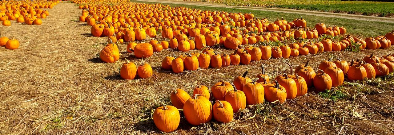 Panoramic view of pumpkins arranged on field
