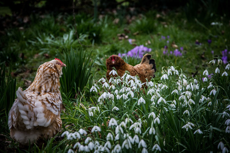 Hens By Snowdrops Blooming On Field
