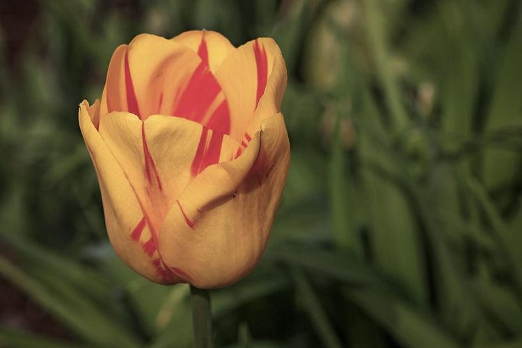 Close-up of rose tulip